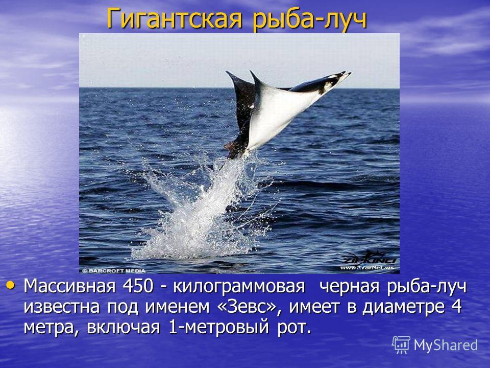 Гигантская рыба-луч Массивная 450 - килограммовая черная рыба-луч известна под именем «Зевс», имеет в диаметре 4 метра, включая 1-метровый рот. Массивная 450 - килограммовая черная рыба-луч известна под именем «Зевс», имеет в диаметре 4 метра, включа