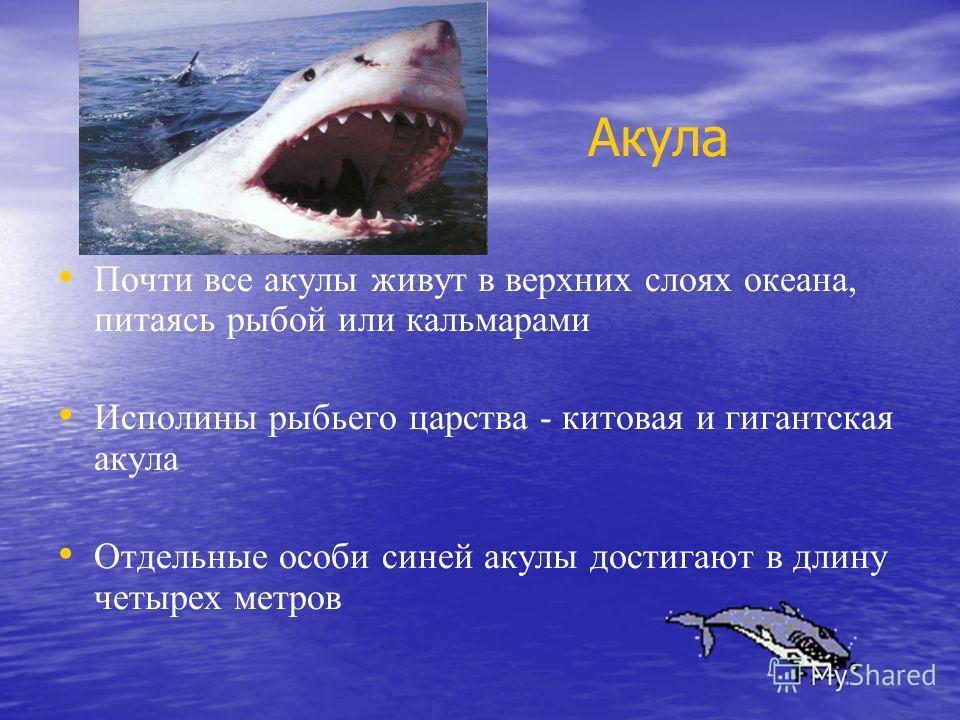 Акула Почти все акулы живут в верхних слоях океана, питаясь рыбой или кальмарами Исполины рыбьего царства - китовая и гигантская акула Отдельные особи синей акулы достигают в длину четырех метров
