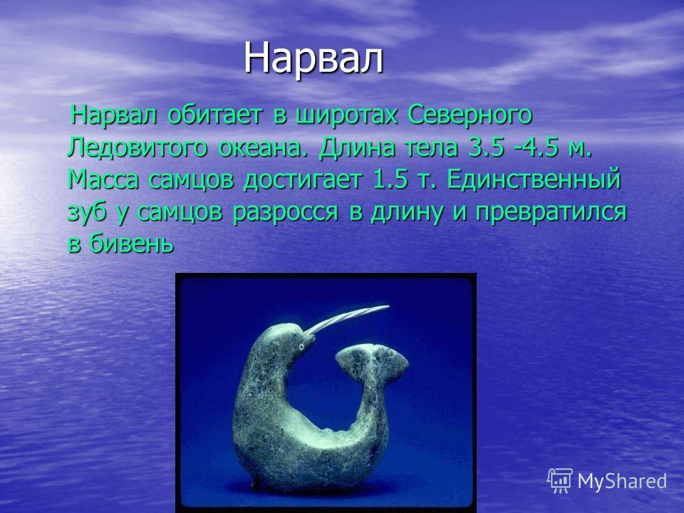 Нарвал Нарвал обитает в широтах Северного Ледовитого океана. Длина тела 3.5 -4.5 м. Масса самцов достигает 1.5 т. Единственный зуб у самцов разросся в длину и превратился в бивень