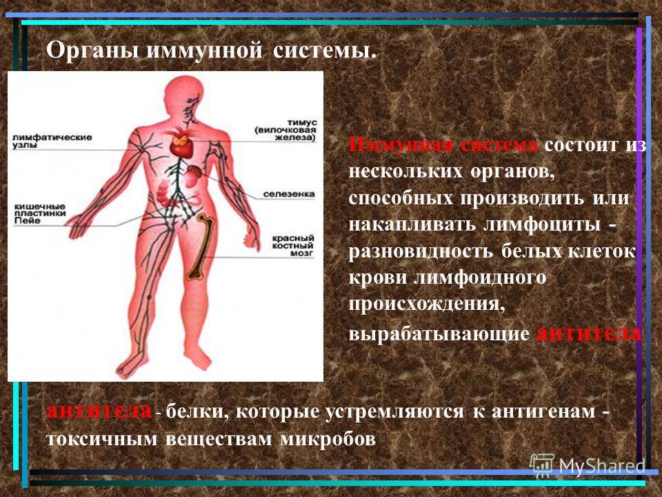 Органы иммунной системы. Иммунная система состоит из нескольких органов, способных производить или накапливать лимфоциты - разновидность белых клеток крови лимфоидного происхождения, вырабатывающие антитела антитела - белки, которые устремляются к ан