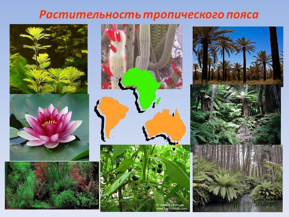 Растительность тропического пояса