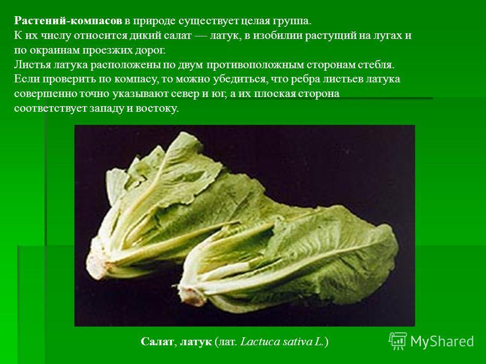 Растений-компасов в природе существует целая группа. К их числу относится дикий салат латук, в изобилии растущий на лугах и по окраинам проезжих дорог. Листья латука расположены по двум противоположным сторонам стебля. Если проверить по компасу, то м