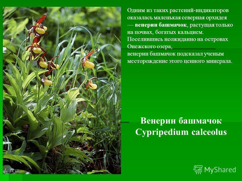 Одним из таких растений-индикаторов оказалась маленькая северная орхидея венерин башмачок, растущая только на почвах, богатых кальцием. Поселившись неожиданно на островах Онежского озера, венерин башмачок подсказал ученым месторождение этого ценного