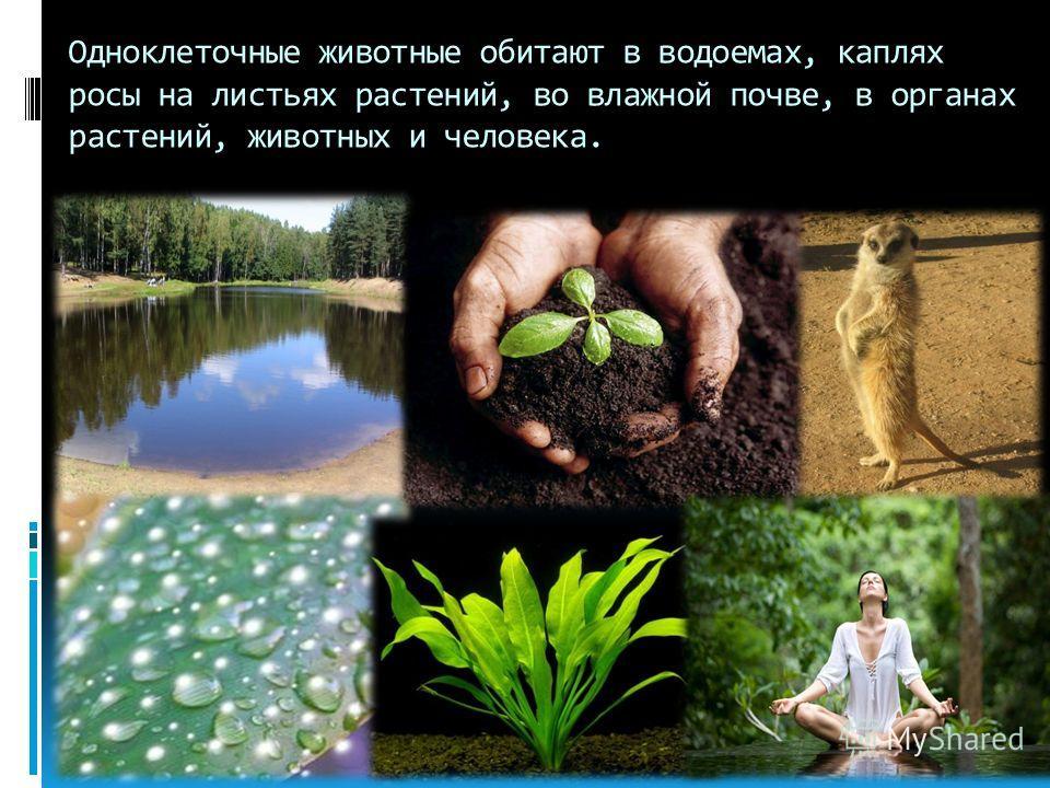 Одноклеточные животные обитают в водоемах, каплях росы на листьях растений, во влажной почве, в органах растений, животных и человека.