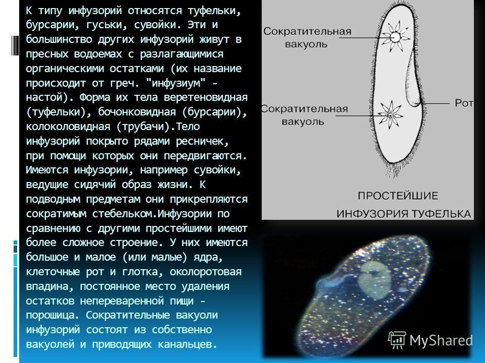К типу инфузорий относятся туфельки, бурсарии, гуськи, сувойки. Эти и большинство других инфузорий живут в пресных водоемах с разлагающимися органическими остатками (их название происходит от греч.