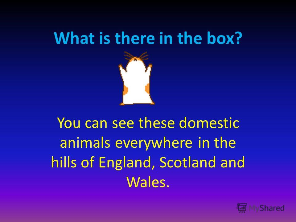 You can see these domestic animals everywhere in the hills of England, Scotland and Wales.