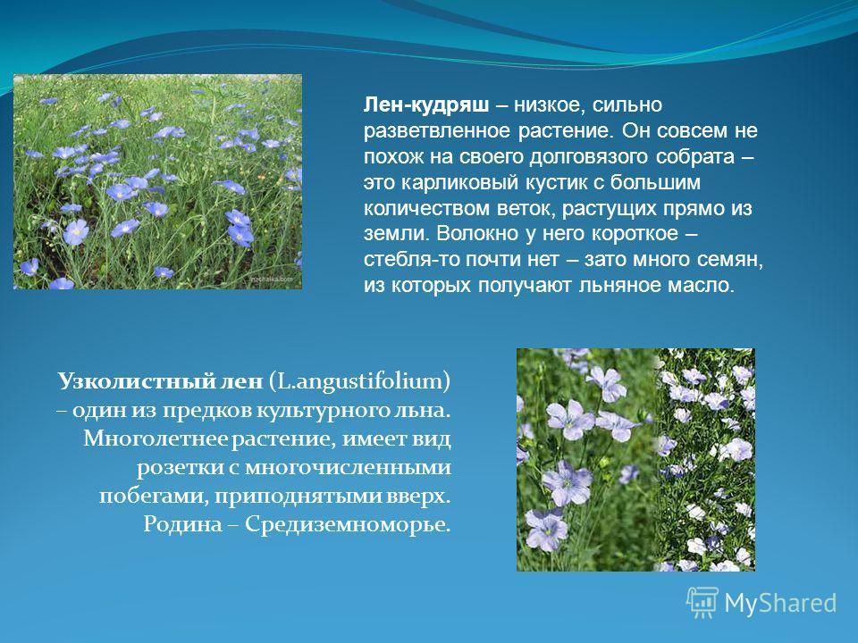 Узколистный лен (L.angustifolium) – один из предков культурного льна. Многолетнее растение, имеет вид розетки с многочисленными побегами, приподнятыми вверх. Родина – Средиземноморье. Лен-кудряш – низкое, сильно разветвленное растение. Он совсем не п