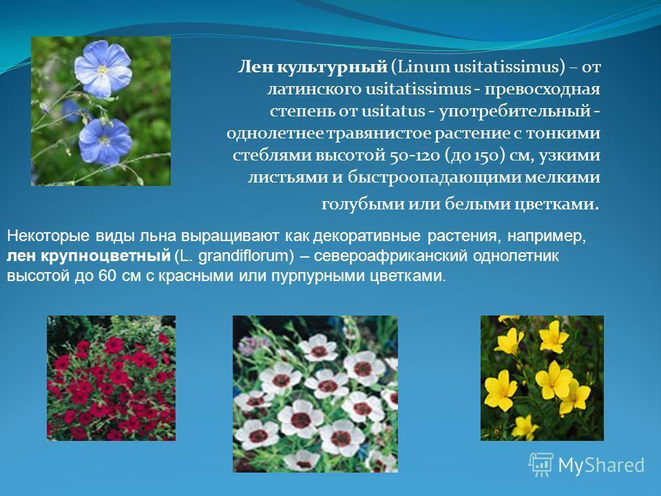 Лен культурный (Linum usitatissimus) – от латинского usitatissimus - превосходная степень от usitatus - употребительный - однолетнее травянистое растение с тонкими стеблями высотой 50-120 (до 150) см, узкими листьями и быстроопадающими мелкими голубы