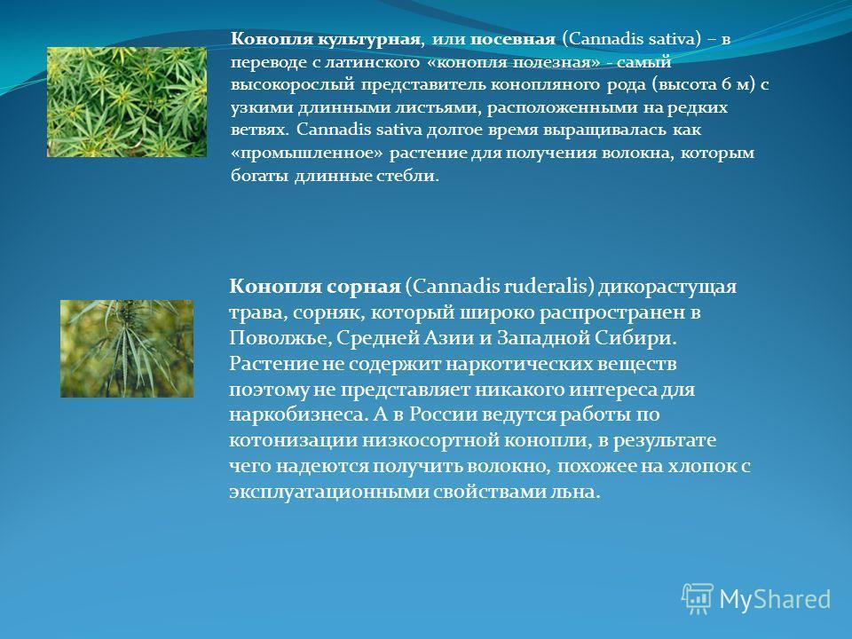 Конопля культурная, или посевная (Cannadis sativa) – в переводе с латинского «конопля полезная» - самый высокорослый представитель конопляного рода (высота 6 м) с узкими длинными листьями, расположенными на редких ветвях. Cannadis sativa долгое время
