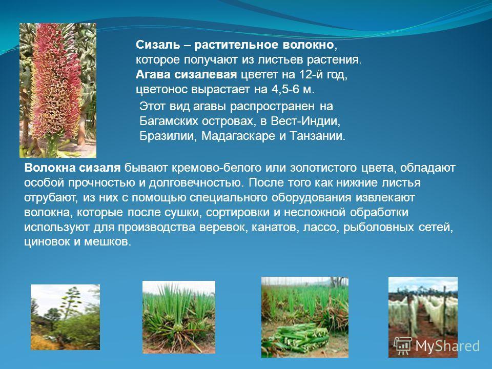 Сизаль – растительное волокно, которое получают из листьев растения. Агава сизалевая цветет на 12-й год, цветонос вырастает на 4,5-6 м. Этот вид агавы распространен на Багамских островах, в Вест-Индии, Бразилии, Мадагаскаре и Танзании. Волокна сизаля