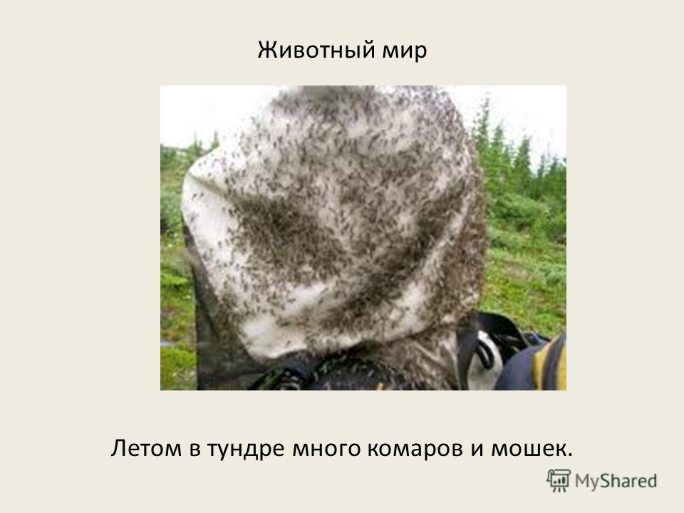 Животный мир Летом в тундре много комаров и мошек.