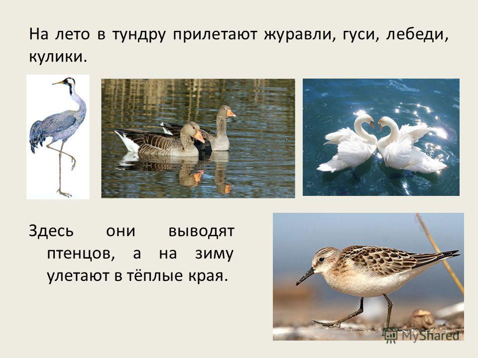 На лето в тундру прилетают журавли, гуси, лебеди, кулики. Здесь они выводят птенцов, а на зиму улетают в тёплые края.