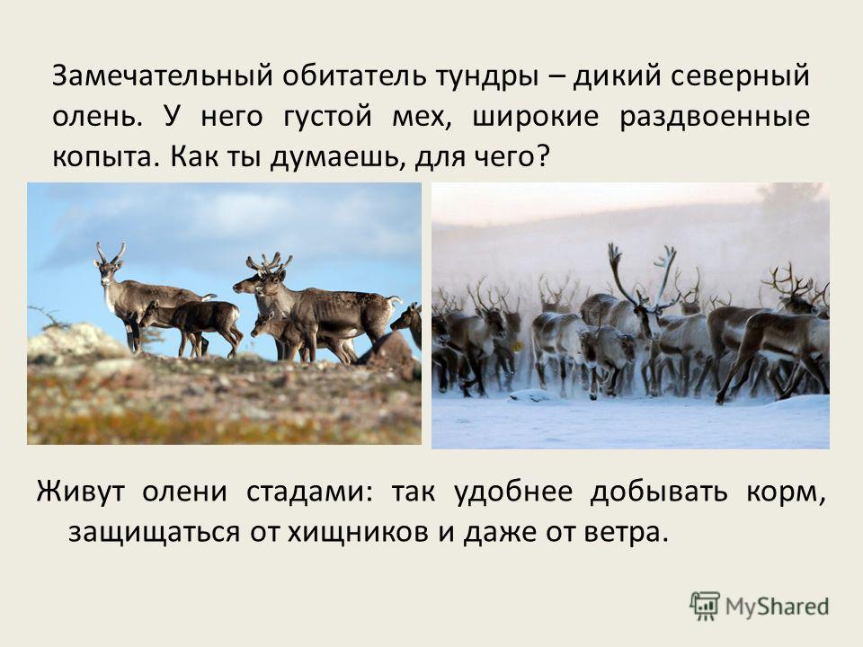 Замечательный обитатель тундры – дикий северный олень. У него густой мех, широкие раздвоенные копыта. Как ты думаешь, для чего? Живут олени стадами: так удобнее добывать корм, защищаться от хищников и даже от ветра.