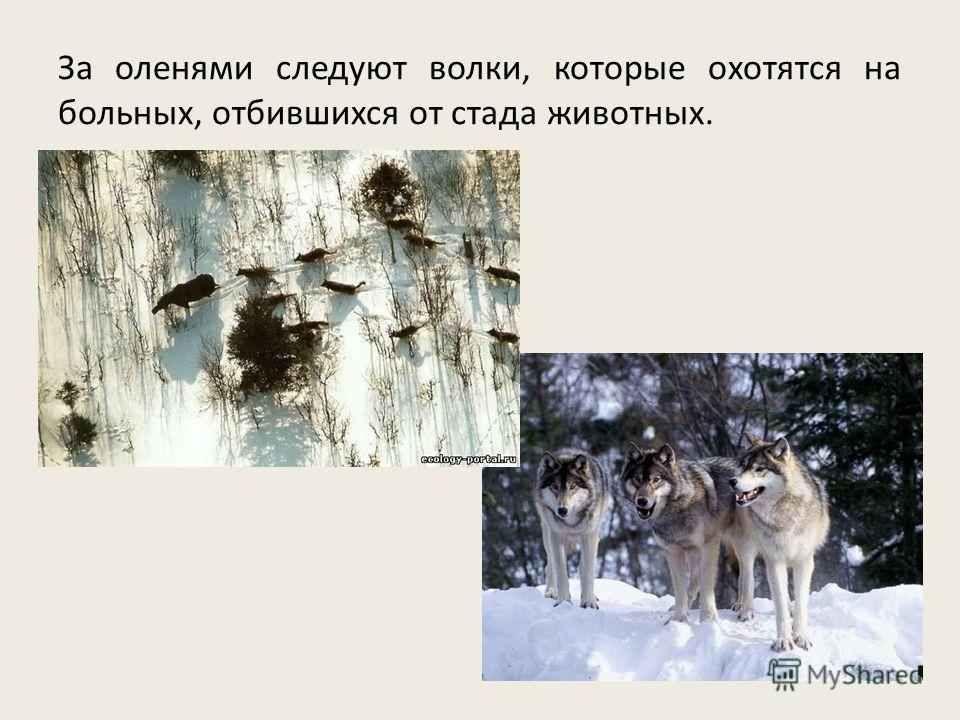 За оленями следуют волки, которые охотятся на больных, отбившихся от стада животных.