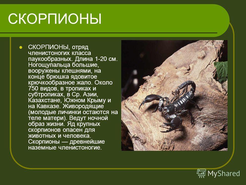 СКОРПИОНЫ СКОРПИОНЫ, отряд членистоногих класса паукообразных. Длина 1-20 см. Ногощупальца большие, вооружены клешнями, на конце брюшка ядовитое крючкообразное жало. Около 750 видов, в тропиках и субтропиках, в Ср. Азии, Казахстане, Южном Крыму и на