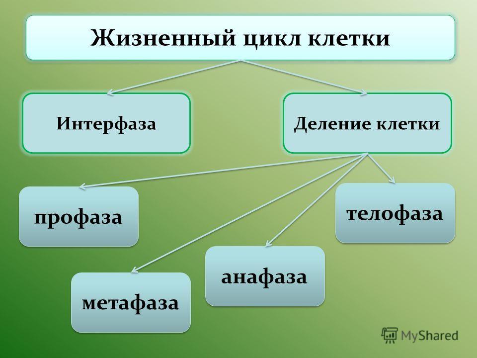 Жизненный цикл клетки ИнтерфазаДеление клетки телофаза анафаза профаза метафаза