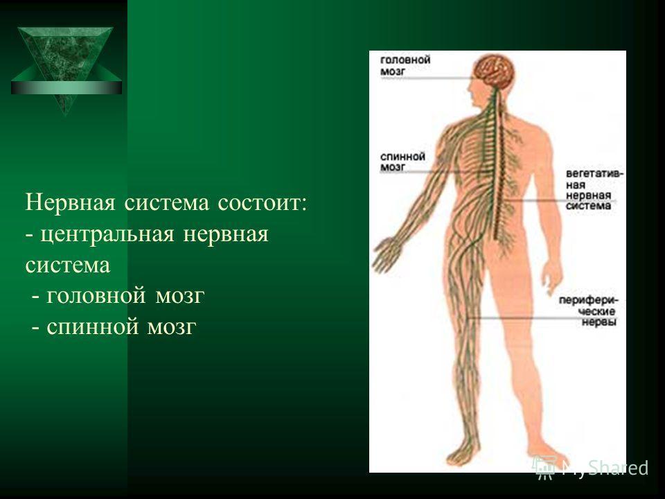 Нервная система состоит: - центральная нервная система - головной мозг - спинной мозг