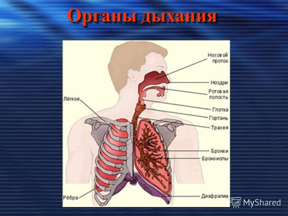 Органы дыхания Органы дыхания