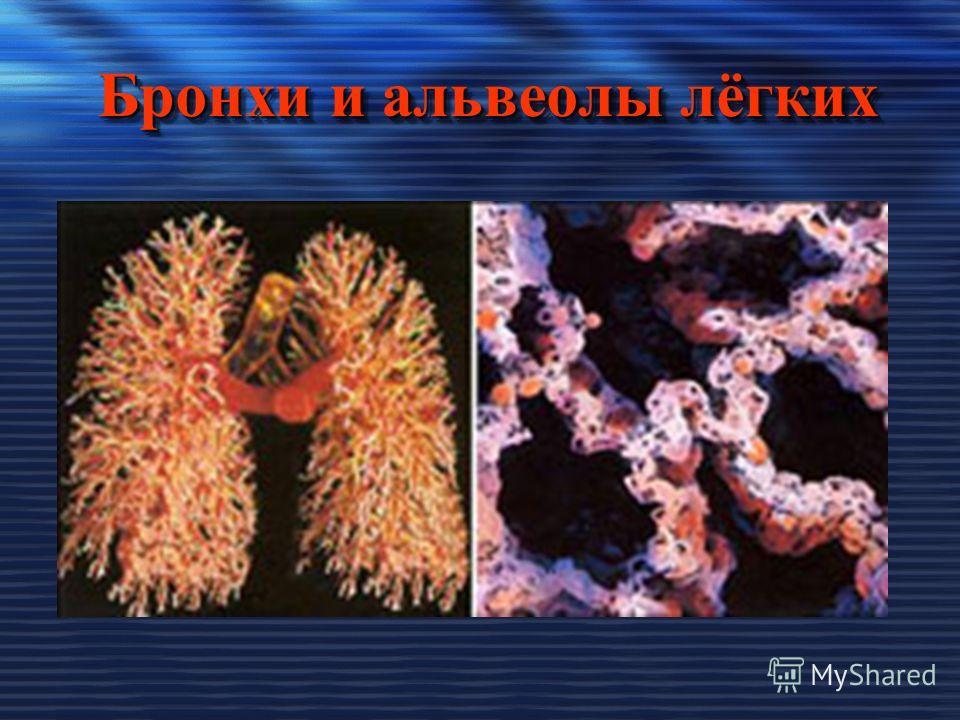 Бронхи и альвеолы лёгких Бронхи и альвеолы лёгких