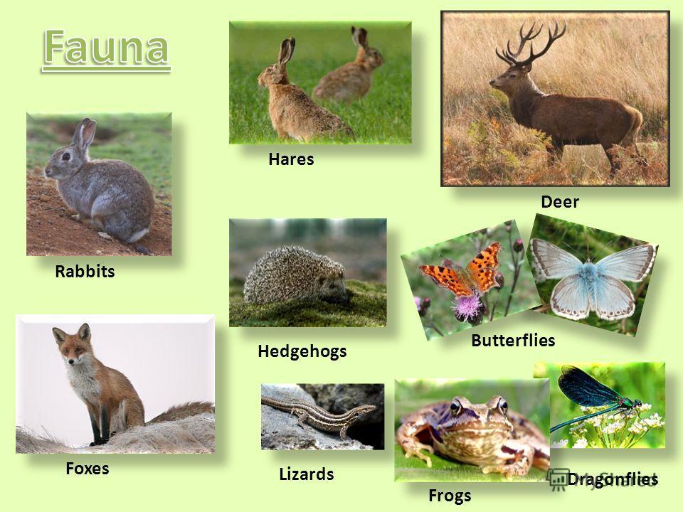 Hares Rabbits Deer Butterflies Frogs Dragonflies Hedgehogs Lizards Foxes