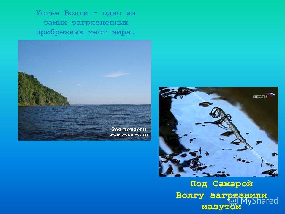 Устье Волги - одно из самых загрязненных прибрежных мест мира. Под Самарой Волгу загрязнили мазутом