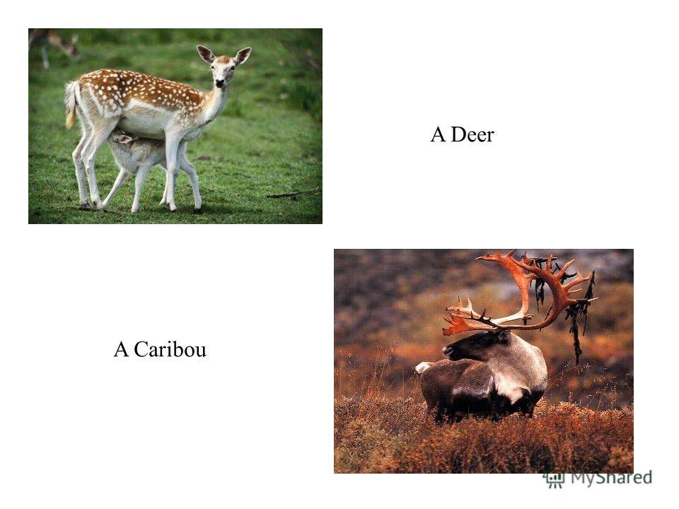 A Deer A Caribou