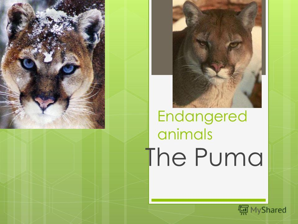 Endangered animals The Puma