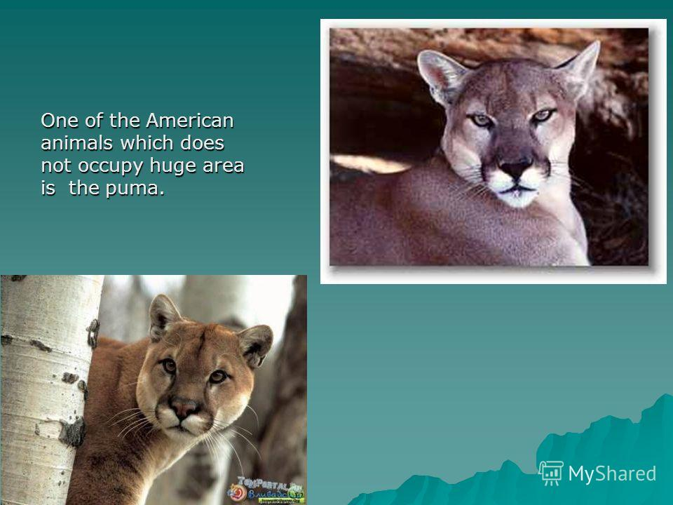 One of the American animals which does not occupy huge area is the puma.