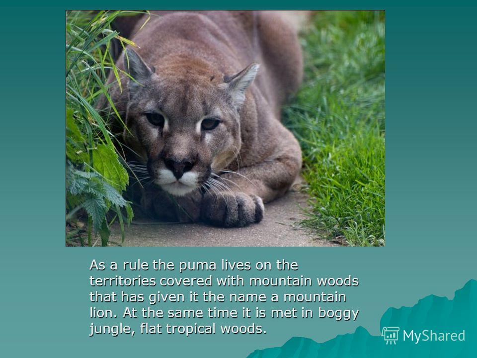 As a rule the puma lives on the territories covered with mountain woods that has given it the name a mountain lion. At the same time it is met in boggy jungle, flat tropical woods.