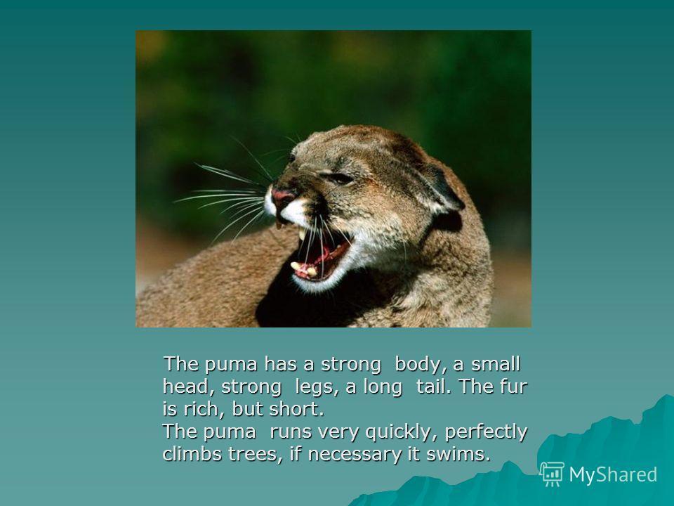 The puma has a strong body, a small head, strong legs, a long tail. The fur is rich, but short. The puma runs very quickly, perfectly climbs trees, if necessary it swims. The puma has a strong body, a small head, strong legs, a long tail. The fur is