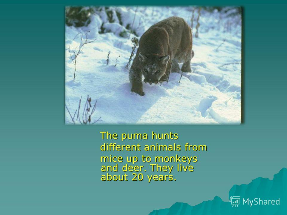 The puma hunts The puma hunts different animals from different animals from mice up to monkeys and deer. They live about 20 years. mice up to monkeys and deer. They live about 20 years.