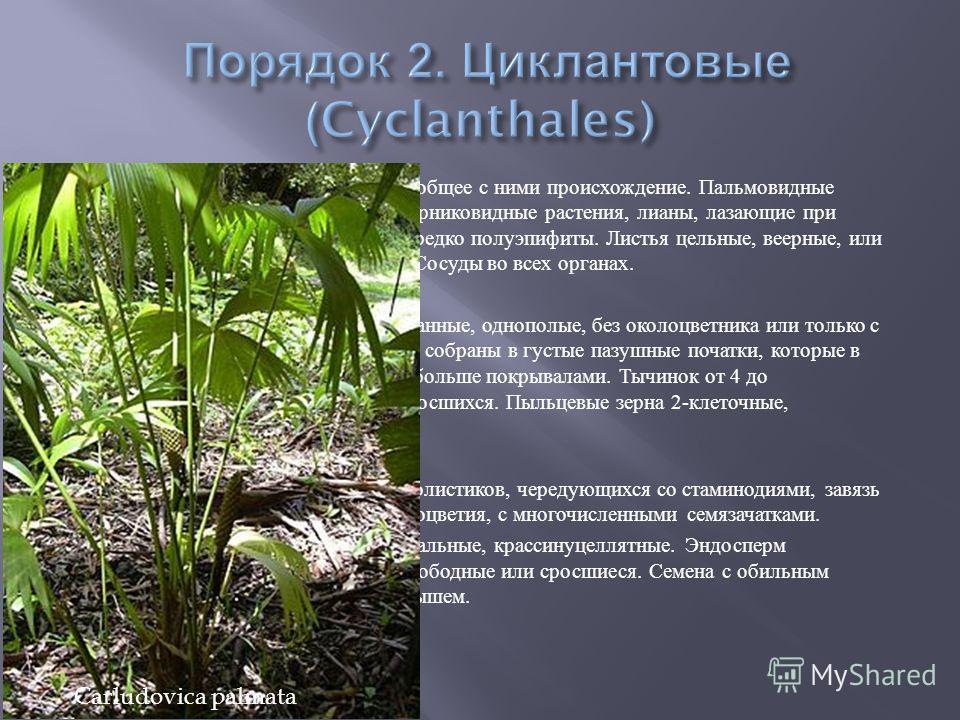 Стоит близко к пальмам и имеет общее с ними происхождение. Пальмовидные многолетние травы, иногда кустарниковидные растения, лианы, лазающие при помощи придаточных корней, нередко полуэпифиты. Листья цельные, веерные, или 2- лопастные, или 2- раздель