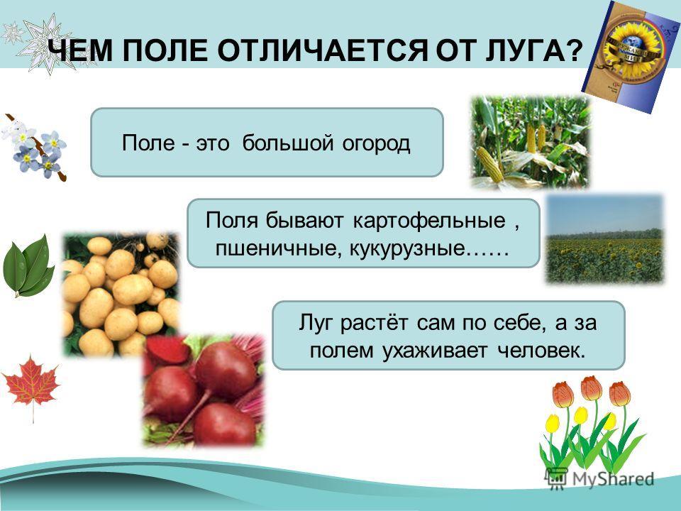 ЧЕМ ПОЛЕ ОТЛИЧАЕТСЯ ОТ ЛУГА? Поле - это большой огород Поля бывают картофельные, пшеничные, кукурузные…… Луг растёт сам по себе, а за полем ухаживает человек.