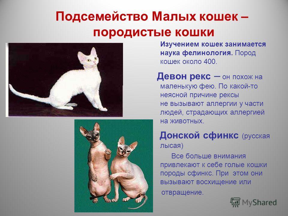 Подсемейство Малых кошек – породистые кошки Изучением кошек занимается наука фелинология. Пород кошек около 400. Девон рекс – он похож на маленькую фею. По какой-то неясной причине рексы не вызывают аллергии у части людей, страдающих аллергией на жив