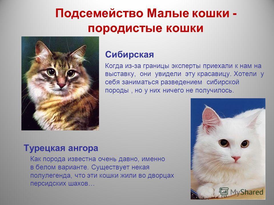 Подсемейство Малые кошки - породистые кошки Сибирская Когда из-за границы эксперты приехали к нам на выставку, они увидели эту красавицу. Хотели у себя заниматься разведением сибирской породы, но у них ничего не получилось. Турецкая ангора Как порода