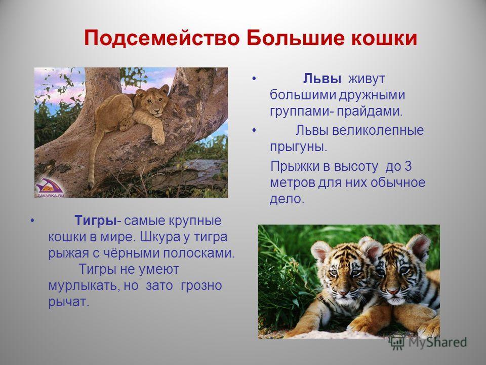 Подсемейство Большие кошки Львы живут большими дружными группами- прайдами. Львы великолепные прыгуны. Прыжки в высоту до 3 метров для них обычное дело. Тигры- самые крупные кошки в мире. Шкура у тигра рыжая с чёрными полосками. Тигры не умеют мурлык