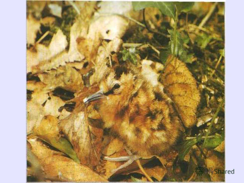 ВАЛЬДШНЕП ВЕЛИЧИНА Длина тела: 33-35 см. Длина клюва: 6,5-8 см. Длина крыла: до 20 см. Масса: 290-320 г. ОБРАЗ ЖИЗНИ Привычки: держатся поодиночке; полигамны. Пища: дождевые черви, насекомые и их личинки, в основном жуки и личинки двукрылых.