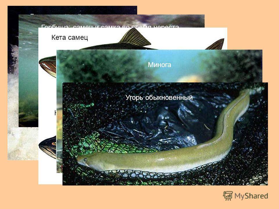 Лосось, идущий на нерест Горбуша: самец и самка во время нереста Кета самец Кета самка МиногаУгорь обыкновенный