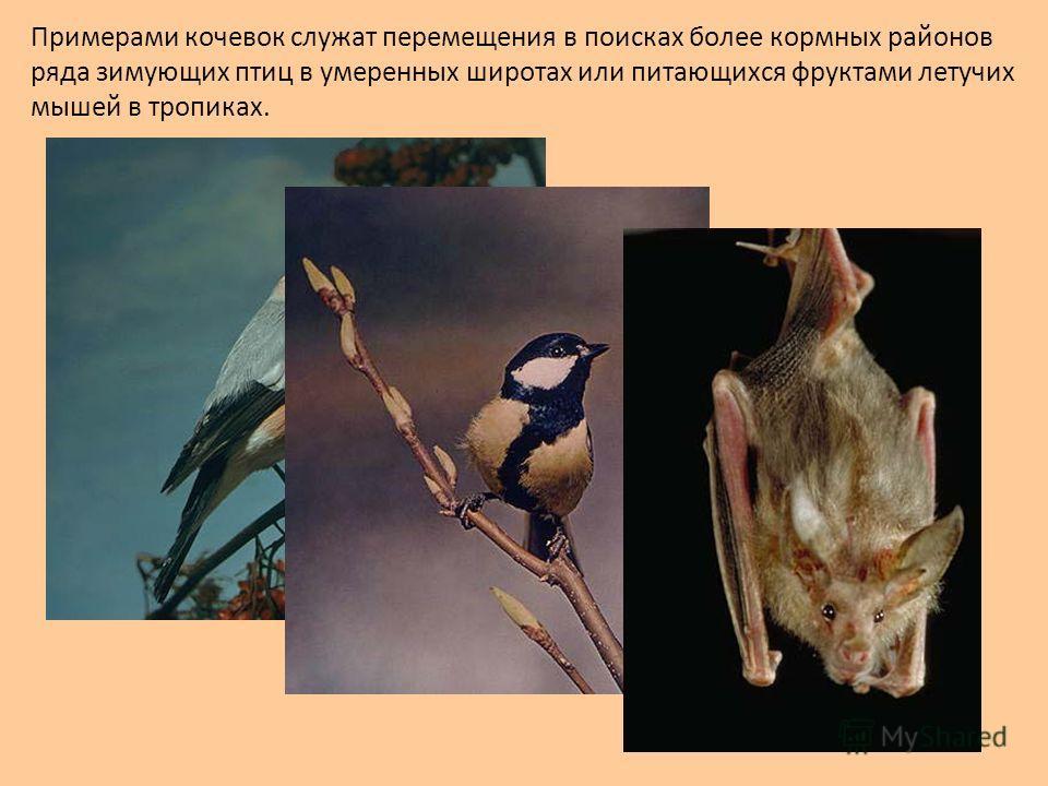 Примерами кочевок служат перемещения в поисках более кормных районов ряда зимующих птиц в умеренных широтах или питающихся фруктами летучих мышей в тропиках.