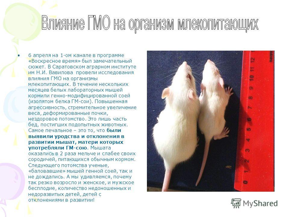 6 апреля на 1-ом канале в программе «Воскресное время» был замечательный сюжет. В Саратовском аграрном институте им Н.И. Вавилова провели исследования влияния ГМО на организмы млекопитающих. В течение нескольких месяцев белых лабораторных мышей корми