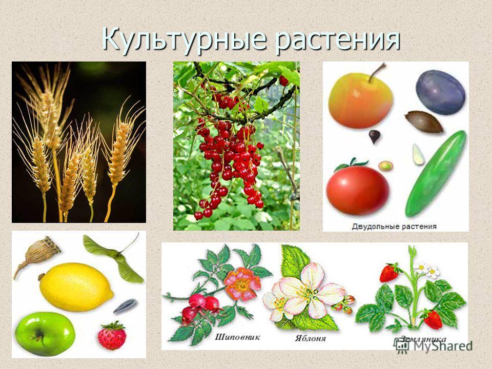 Культурные растения Культурные растения