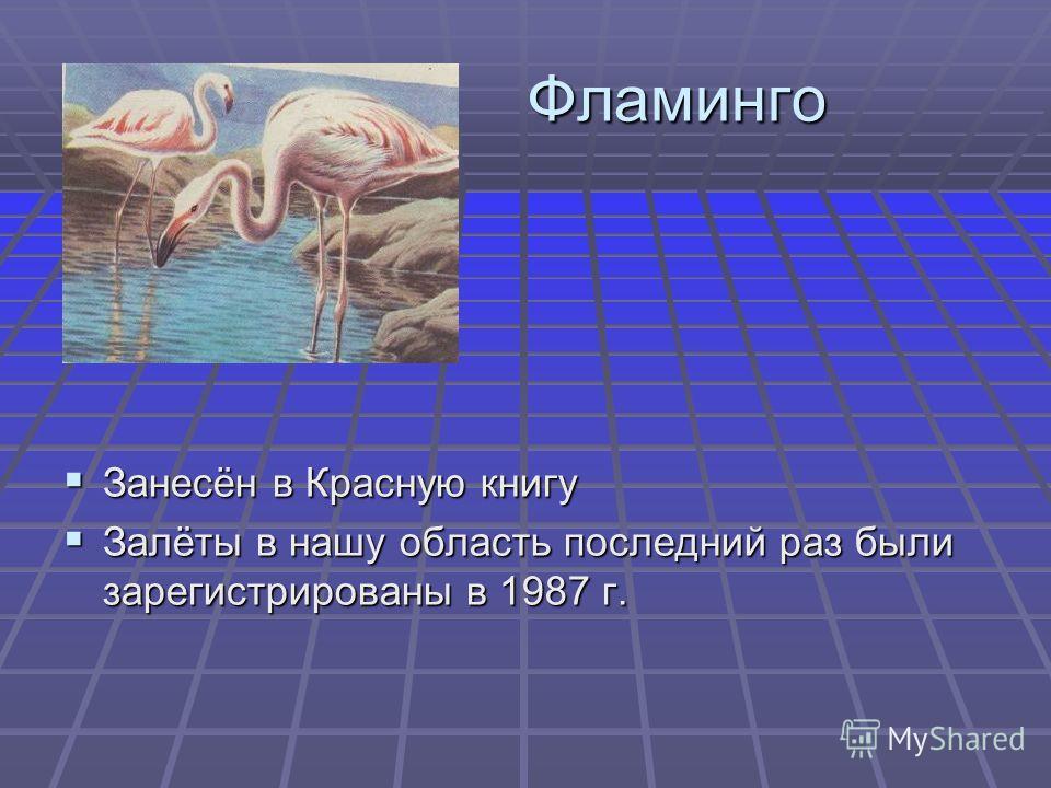 Фламинго Фламинго Занесён в Красную книгу Занесён в Красную книгу Залёты в нашу область последний раз были зарегистрированы в 1987 г. Залёты в нашу область последний раз были зарегистрированы в 1987 г.