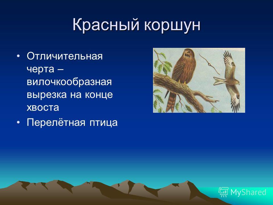 Красный коршун Отличительная черта – вилочкообразная вырезка на конце хвоста Перелётная птица