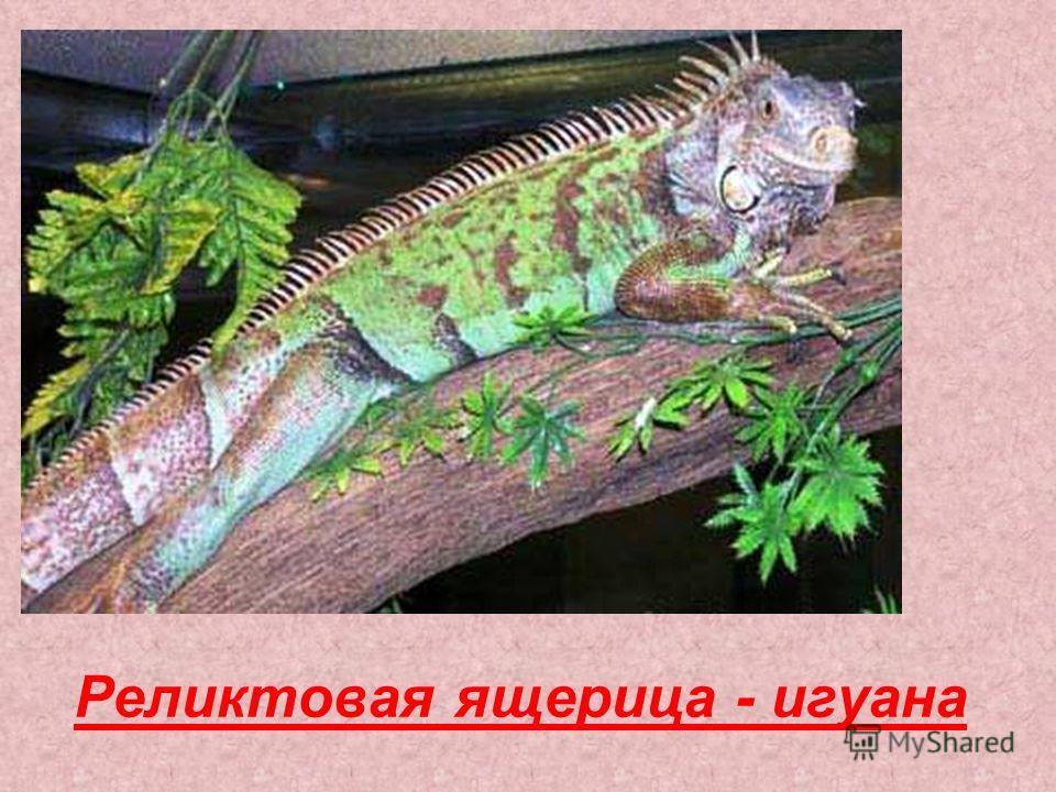 Реликтовая ящерица - игуана