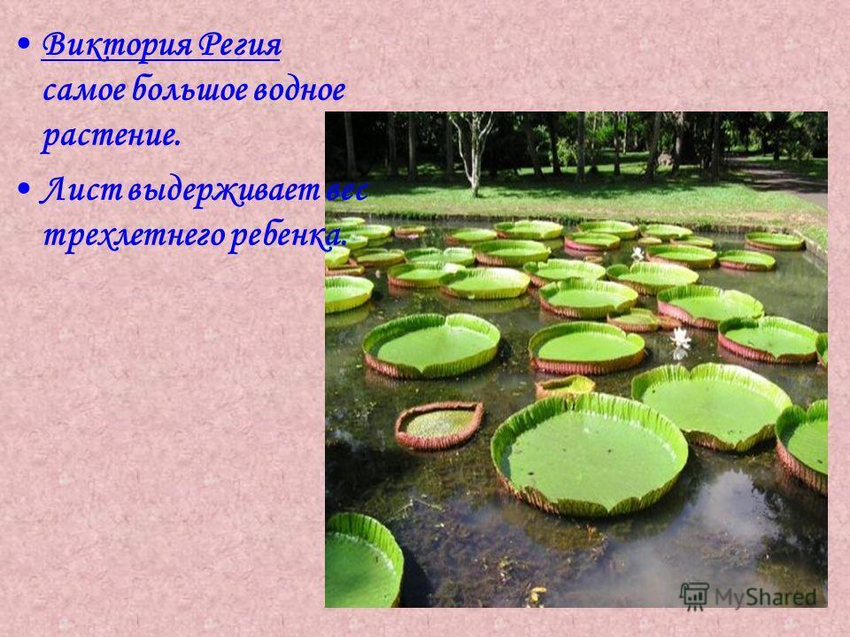 Виктория Регия самое большое водное растение. Лист выдерживает вес трехлетнего ребенка.