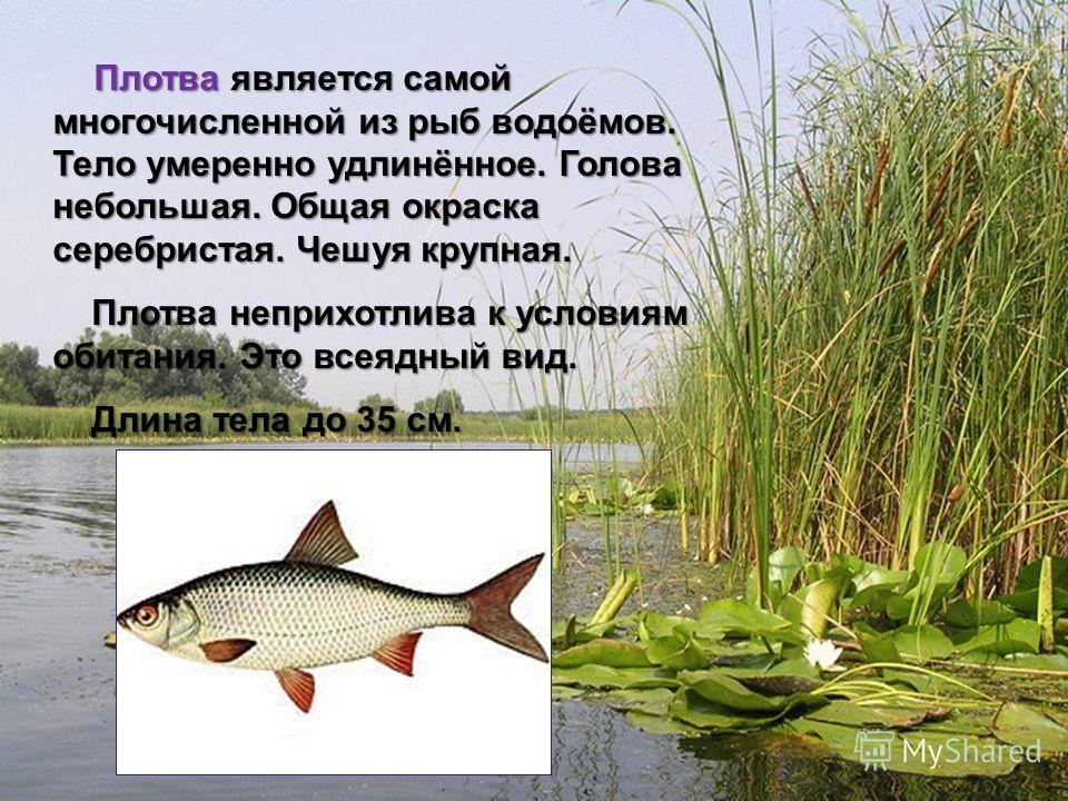 Мир вокруг нас 4 класс Плотва является самой многочисленной из рыб водоёмов. Тело умеренно удлинённое. Голова небольшая. Общая окраска серебристая. Чешуя крупная. Плотва является самой многочисленной из рыб водоёмов. Тело умеренно удлинённое. Голова