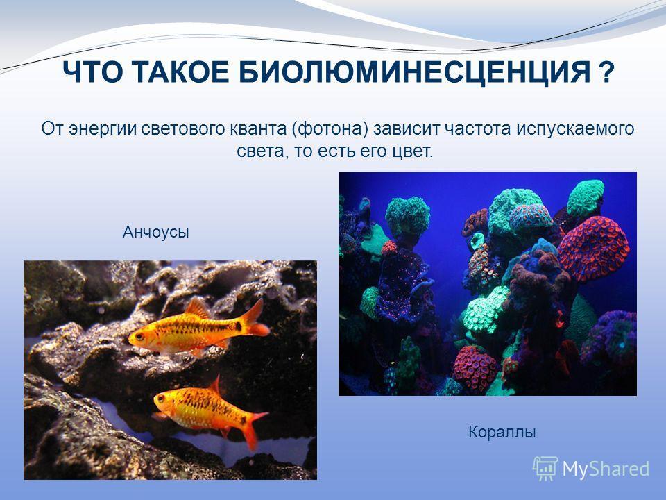 ЧТО ТАКОЕ БИОЛЮМИНЕСЦЕНЦИЯ ? От энергии светового кванта (фотона) зависит частота испускаемого света, то есть его цвет. Кораллы Анчоусы