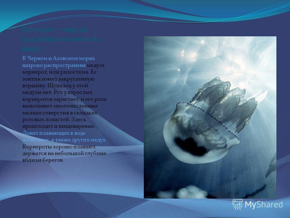 Корнерот – медуза- красавица величиной с ведро В Черном и Азовском морях широко распространена медуза корнерот, или ризостома. Ее зонтик имеет закругленную вершину. Щупалец у этой медузы нет. Рот у взрослых корнеротов зарастает, и его роль выполняют