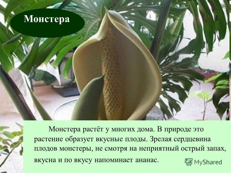 Монстера растёт у многих дома. В природе это растение образует вкусные плоды. Зрелая сердцевина плодов монстеры, не смотря на неприятный острый запах, вкусна и по вкусу напоминает ананас. Монстера