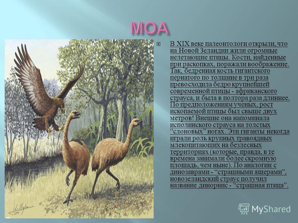 В XIX веке палеонтологи открыли, что на Новой Зеландии жили огромные нелетающие птицы. Кости, найденные при раскопках, поражали воображение. Так, бедренная кость гигантского пернатого по толщине в три раза превосходила бедро крупнейшей современной пт